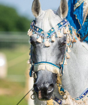 Dni konia arabskiego