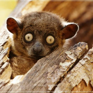 Madagaskar - wyspa sifak i tenreków