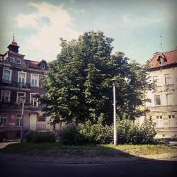 Kasztanowiec na rondzie przy ul. Wajdeloty w sierpniu 2012 r.