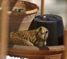 Pustułka, którą ubiegła kaczka, tuż po eksmisji niechcianego gościa, wróciła do swojego gniazda we wnęce kościoła św. Trójcy.