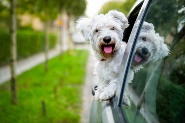 Dla większości zwierząt jazda samochodem to stresujące przeżycie.