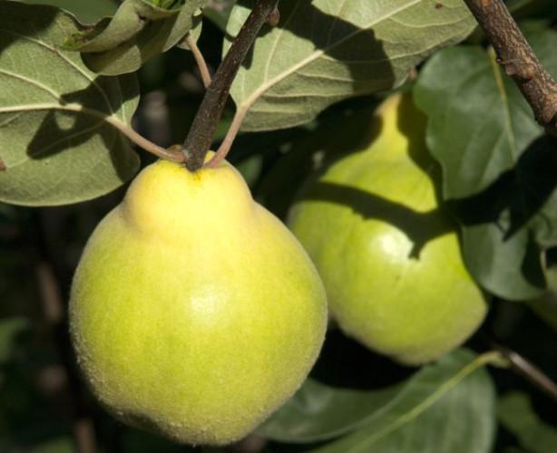 Pigwa (na zdjęciu) w porównani do pigwowca ma większe owoce, które rosną na drzewie. Pigwowiec jest małym krzewem, a jego owoce są wielkości orzecha włoskiego.