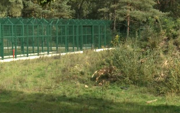 Lunety mają ułatwić zwiedzającym obserwowanie lwów, które lubią odpoczywać wśród traw i krzewów. Na stopklatce widoczne tylne łapy i ogon lwicy Berghi.