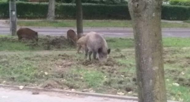 Dziki na Dąbrowie to spory problem - ryją trawniki, niektóre osoby się ich boją, inne dokarmiają.