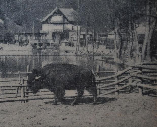 """Maskotka zwierzyńca, bizon """"Jack"""" (""""Danziger Neueste Nachrichten"""", 15.04.1929)"""