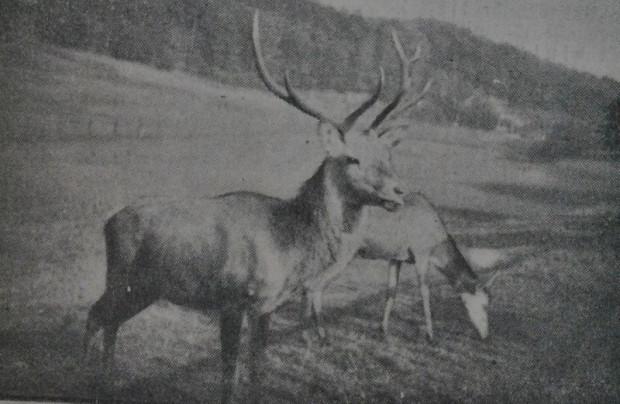 """Para jeleni w zwierzyńcu (""""Danziger Neueste Nachrichten"""", 16.10.1933 r.)"""