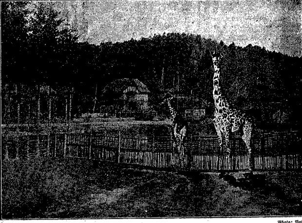"""Para żyraf w oliwskim zwierzyńcu, sprowadzona z Hamburga (""""Danziger Volksstimme"""", 30.03.1929 r.)"""