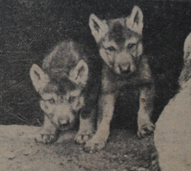 """Para młodych wilczków, które przyszły na świat w zwierzyńcu w 1931 r. (""""Danziger Neueste Nachrichten"""", 17.06.1931 r.)"""