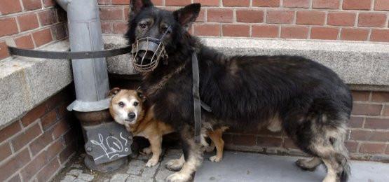 Pechowiec i szczęściarz - gdańscy radni ustalili, że niektóre psy muszą chodzić w kagańcach, a inne nie muszą się nimi przejmować.