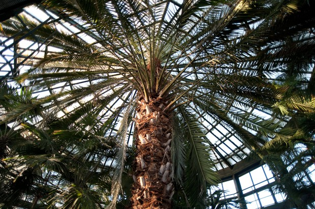 Po protestach mieszkańców 180-letnia palma będzie zachowana.