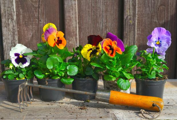 Bratki to pierwsze balkonowe kwiaty, które można sadzić na zewnątrz bez obaw, że zaszkodzą im ostatnie przymrozki.