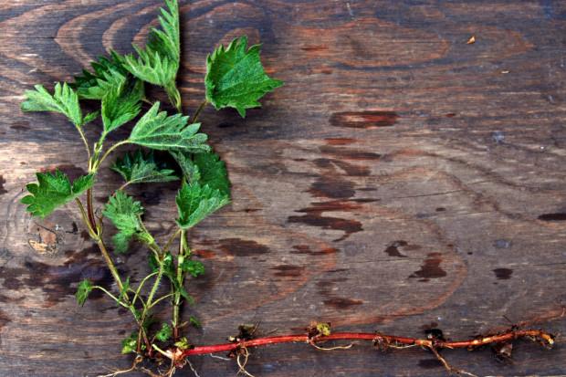 Surowcem zielarskim pokrzywy są zarówno liście, jak i korzenie z kłączami.