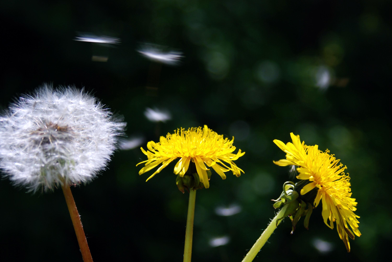 Kwiat Suszony Mniszek Lekarski Dukatki Ziola Kwiat Dukatki Pl