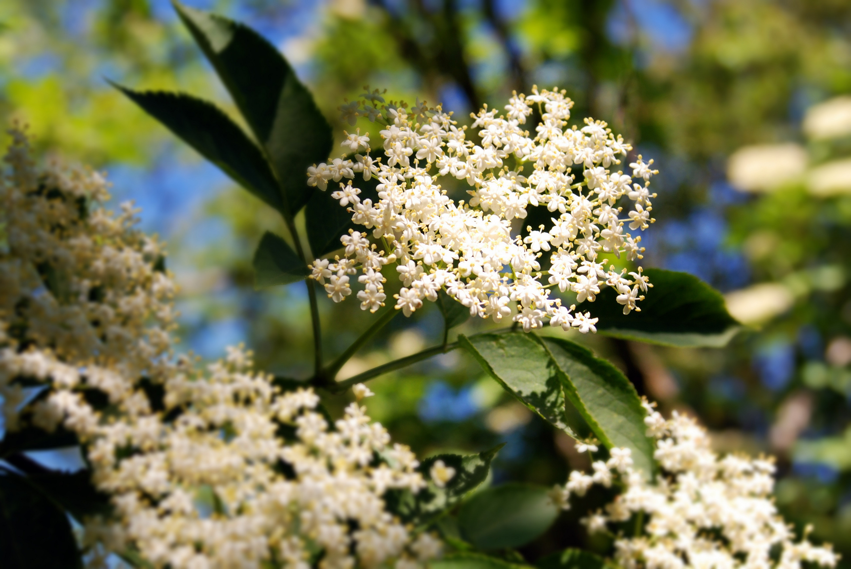 Kwiaty Dzikiego Bzu Zastosowanie Lecznicze Kosmetyczne I Kulinarne