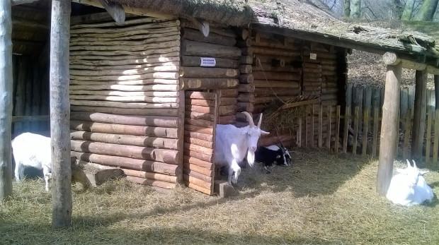 Podczas imprez, które odbywają się na terenie grodziska, w zrekonstruowanych zagrodach prezentowane są zwierzęta hodowlane.
