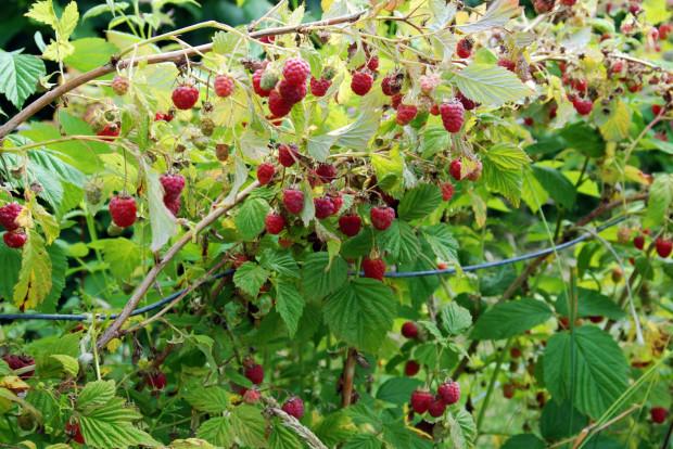 Maliny uprawiane w ogrodzie czy na działce różnią się od tych leśnych. Owoce są większe i bardziej podłużne. Również w smaku poczujemy różnicę.