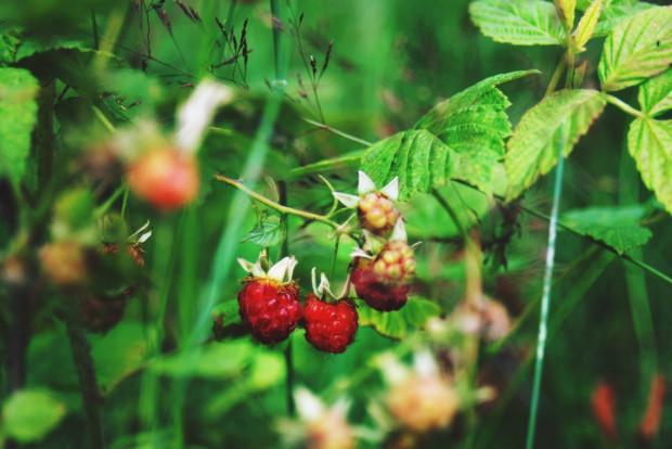 Leśna odmiana malin nie jest tak imponująca, jak jej ogrodowa koleżanka. Jest mniejsza, ale równie zdrowa i aromatyczna. Niektórzy nawet twierdzą, że jej smak jest nieporównywalnie lepszy.