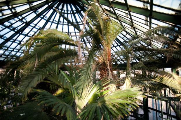 Palma w parku Oliwskim ma ponad 17 m i ciągle rośnie. Ma zyskać jednak nową rotundę.