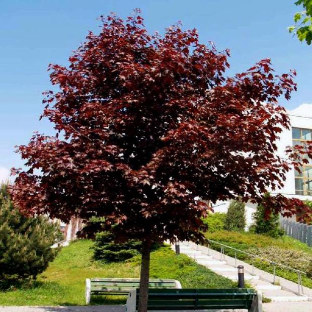 Jednym z przykładów szybko rosnących drzew liściastych jest klon pospolity. Odmiana royal red nie tylko charakteryzuje się dość szybkim tempem wzrostu, ale także pięknym wybarwieniem liści, które będą ozdobą ogrodu.