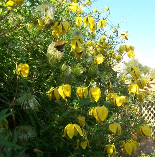 Powojniki świetnie nadadzą się na osłonę ogrodzenia bądź elewacji. Różnorodność odmian i kolorystyki pozwoli dopasować roślinę do naszej wizji ogrodu.