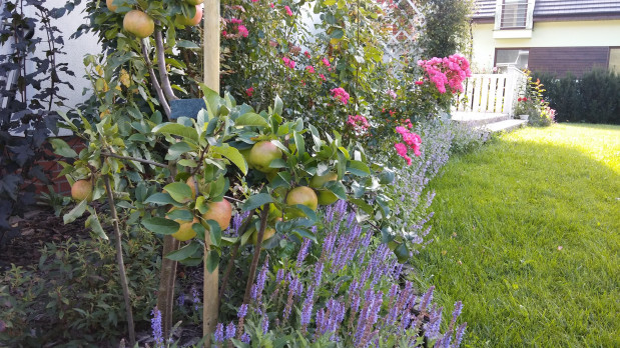 Jabłoń na rabacie. Drzewa owocowe w minimalistycznej formie coraz częściej pojawiają się w przydomowych ogrodach. Aby pozostały niewielkie potrzebują regularnefo formowania.
