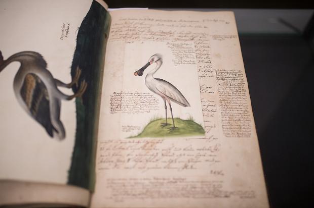XVIII-wieczny rękopis opisujący podróż gdańszczanina Nataniela Jakuba Gerlacha jest uzupełniony o barwne ilustracje napotkanych zwierząt i roślin.