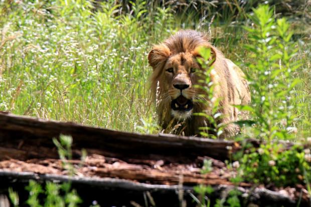 W stadzie może być tylko jeden dorosły lew, a widoczny na zdjęciu Lolek zaczynał już walczyć ze swoim ojcem Arco o dominację.