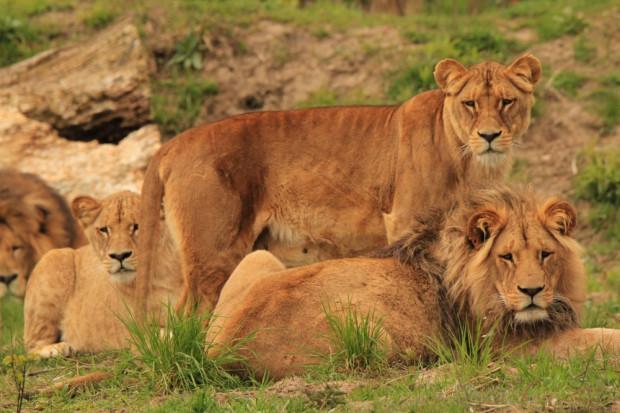 Lwy z Gdańskiego Ogrodu Zoologicznego będą świętować w czwartek 10 sierpnia. Tego dnia obchodzony jest na całym świecie Międzynarodowy Dzień Lwa.