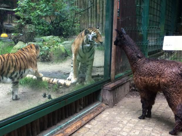 Na zdjęciu należąca do zoo w Oliwie alpaka Gabby.