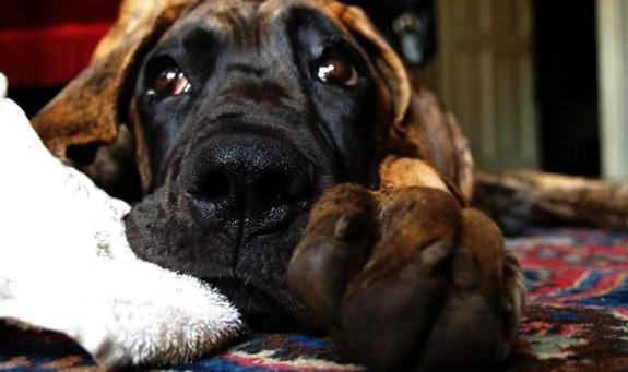 Nieważne czy to dog czy ratlerek, większość psów boi się huku petard.