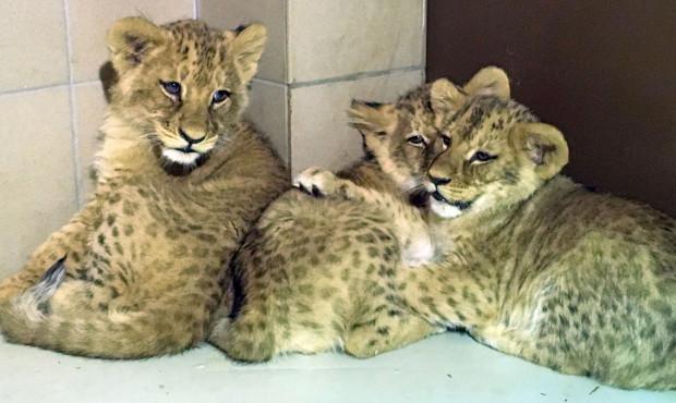 Najmłodsze lwiątka, które urodziły się w gdańskim zoo pod koniec roku, nie mają jeszcze imion.