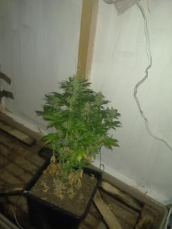 Na zapleczu sklepu policjanci znaleźli 28 doniczek z marihuaną.