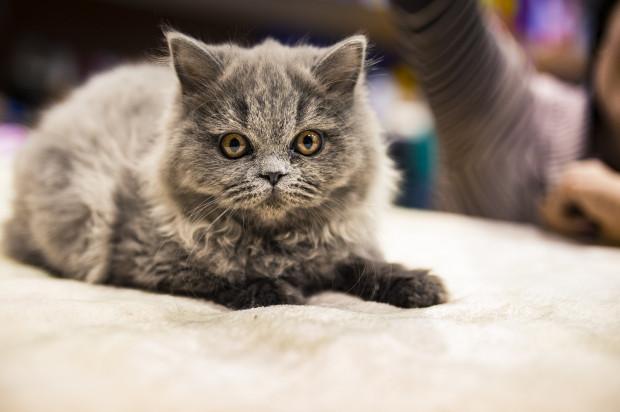 W Hali Pomarańczowej w Sopocie zobaczymy Międzynarodową Wystawę Kotów Rasowych w Sopocie w Hali Pomarańczowej.