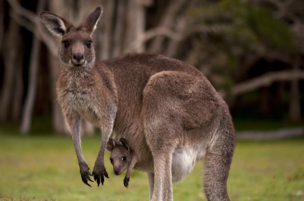 Sarny, dziki, jelenie i... kangury. Wszystkie z wymienionych zwierząt można niekiedy spotkać w okolicach Trójmiasta.
