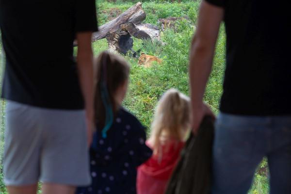 Od kilku lat jedną z największych atrakcji w gdańskim zoo są lwy.