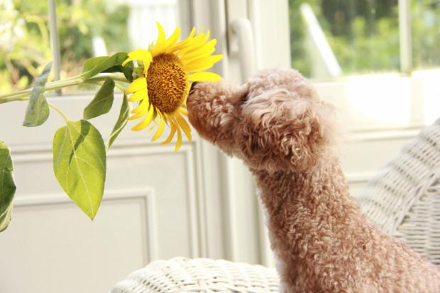 Zwierzęta lubią czasem podgryzać liście roślin doniczkowych lub ogrodowych - niestety, niektóre mogą im zaszkodzić.