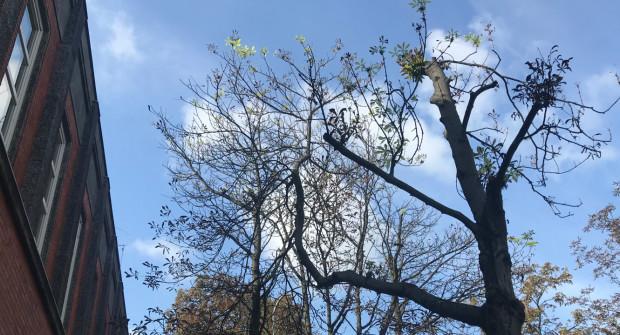 Mieszkańcy twierdzą, że przy okazji przebudowy budynku na Konsulat Kultury, wycięto gałęzie dwóch kasztanowców przed budynkiem.