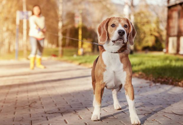 Do nauki chodzenia na luźnej smyczy nie używaj typu flexi. Pies musi ciągnąć, aby pójść dalej, co uniemożliwia poprawną naukę.