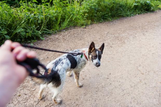 Poczekaj, aż pies poluzuje smycz lub na ciebie spojrzy i dopiero idź dalej.