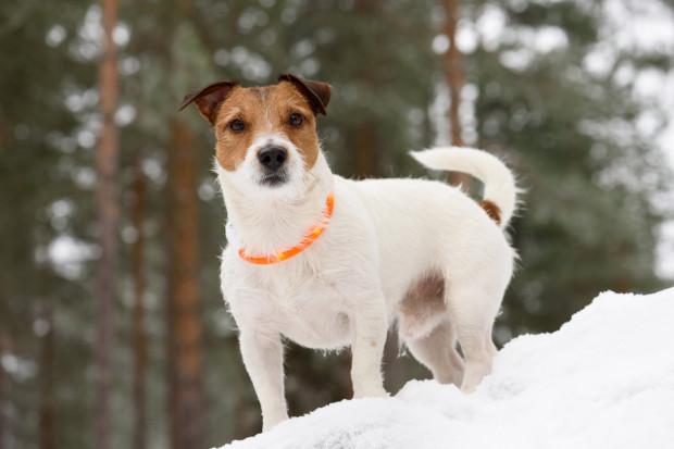 Jesień i zima to czas, w których musimy szczególnie zadbać o bezpieczeństwo psa. Warto kupić dla niego np. odblaskową obrożę.