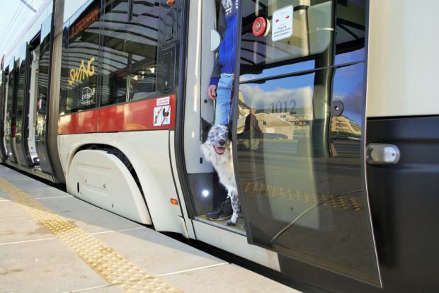 Niektóre psy wręcz cieszą się na widok tramwajów czy autobusów - wiedzą, że jadą w atrakcyjne miejsca.