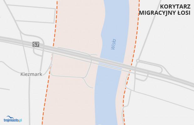 Korytarz migracyjny łosi przy Wiśle ogranicza się główne do wałów przeciwpowodziowych.