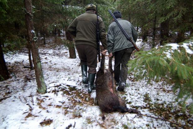 W ubiegłym roku polscy myśliwi odstrzelili 168 tys. dzików. Plan przewidywał, że mogą odstrzelić ich 210 tys.