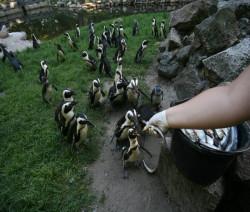 Pingwiny tońce muszą być karmione z ręki. W przeciwnym razie czaple ukradną im ryby.