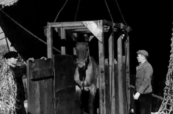 Koń opuszczający drewnianą klatkę, którą przetransportowano go z pokładu statku na nabrzeże w gdańskim porcie.