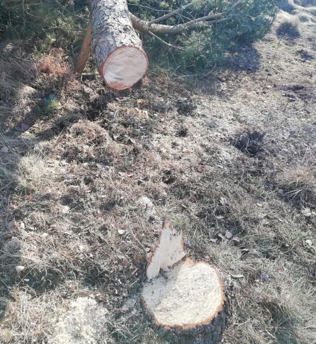 Dwóch mężczyzn na zlecenie właściciela wycinało samosiejki, a przy okazji sosny zwyczajne oraz brzozy brodawkowate o obwodzie od 80 do 100 cm.