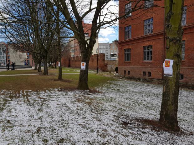 Drzewa, które miałyby zostać wycięte w związku z budową parkingu pod Podwalem Staromiejskim.