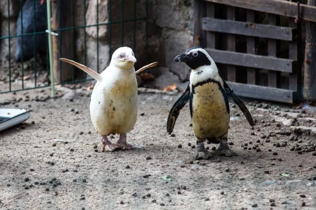 Pingwin albinos żyje w oddzielnej zagrodzie z rodzicami i dwójką rówieśników.