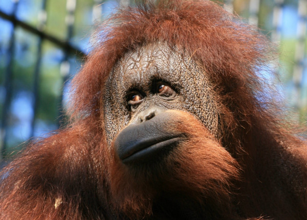 Orangutan Albert ma 44 lata.