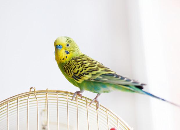 Poglądowe zdjęcie popularnej w Polsce papużki falistej. Nie wiemy, jaka papuga wleciała do budynku Straży Miejskiej -  funkcjonariuszki nie podały tej informacji, ponieważ obawiają się, że zgłoszą się nieuczciwe osoby.